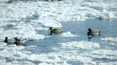 есть : Ducks swim on the surface of the water in the winter among snow and ice