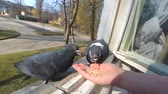 голубь : Feeding birds pigeons from hand on spring sunny day. Girl feeding birds doves with hands on the home window sill. POV, point of view close-up. Nature wildlife outdoor