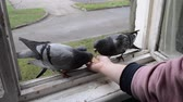 kanatlı : Feeding birds pigeons from hand on spring sunny day. Girl feeding birds doves with hands on home window sill close-up. Nature wildlife outdoor. Feathered wingy eating. Stok Video