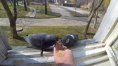 Feeding birds pigeons from hand on spring sunny day. Girl feeding birds doves with hands on home window sill close-up. Nature wildlife outdoor. Feathered wingy eating. POV, point of view close-up. Stok Video