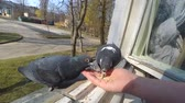 alado : Feeding birds pigeons from hand on spring sunny day. Girl feeding birds doves with hands on home window sill close-up. Nature wildlife outdoor. Feathered wingy eating. POV, point of view close-up. Stock Footage