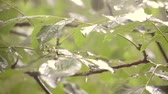 chovendo : Heavy rain shower downpour cloudburst rainfall comes in the daytime. Rain drops dripping on the big green leaves of the tree Walnut close-up. Background concept rainy driving pouring rain with sound Stock Footage
