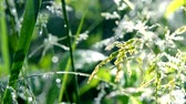 Green dew-covered grass plant in early in spring summer morning on blurred background. Stockvideo