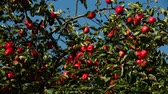 maçãs : red ripe apples on an apple tree branch on a sunny day