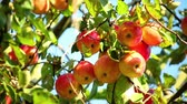 미각 : red ripe apples on an apple tree branch on a sunny day