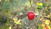 vitaminok : red ripe apple on an apple tree branch on a sunny day