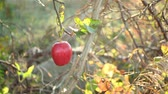 red ripe apple on an apple tree branch on a sunny day