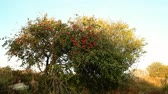 fruitapple tree with red apples on a sunny day general view