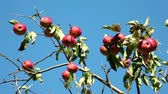 red ripe apples on an apple tree branch on a sunny day