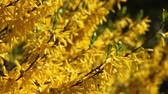 makas : forcionia blooms with bright yellow flowers Stok Video