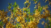 forcionia blooms with bright yellow flowers Wideo