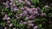 branches of blossoming lilac lilac on a sunny day in the wind Wideo