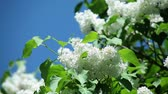 white lilac with fresh green leaves on a branch against a blue sky on a sunny day
