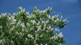 varicose : chestnut flowers on tree branches against a blue sky on a sunny day