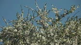 güneş : blooming plum tree with white flowers on a sunny day against a blue sky Stok Video