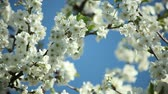 ветер : blooblooming plum tree with white flowers on a sunny day