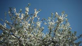 szilva : blooblooming plum tree with white flowers on a sunny day
