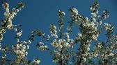 синий : blooblooming plum tree with white flowers on a sunny day