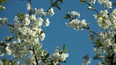 céu azul : blooblooming plum tree with white flowers on a sunny day