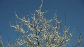 krásný : blooblooming plum tree with white flowers on a sunny day