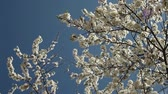 на белом : blooblooming plum tree with white flowers on a sunny day