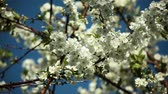 plum flowers background in sunny weather against blue sky