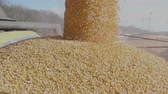 Harvested Corn unloaded falling from Combine into a truck