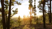 de faia : Forest landscape at sunset. Gran Canaria, Canary Islands, Spain.