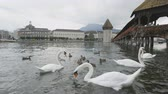 duck : Lucerne Switzerland swans in Reuss River. Travel footage of landmark tourist attraction Kapellbrucke Chapel Bridge and Wasserturm water tower and swans  Reuss River  Luzern.