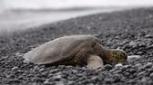 das marés : Turtle. Hawaiian sea turtles resting in beach sand relaxed, calm, safe on Big Island, Hawaii, USA.