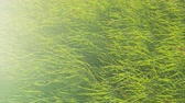 prado : Grass growing on field. Green grass background in slow motion. Full frame shot of fresh plants swaying on sunny day. High angle view of grassland during summer