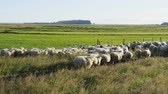 ovelha : Sheep herd on grass in beautiful Iceland nature landscape. South Icelandic scenery with sheep flock. SLOW MOTION RED EPIC.