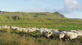 bonito : Sheep herd on grass in beautiful Iceland nature landscape. SLOW MOTION RED EPIC.