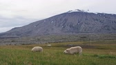 ocidental : Iceland volcano landscape with beautiful volcano Snaefellsjokull and sheep grassing. Icelandic nature in summer. SLOW MOTION.