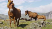 equitacion : Horses - Icelandic horse on Iceland. Beautiful Icelandic horse standing on field in nature landscape with mountains. RED EPIC SLOW MOTION 90 FPS. Archivo de Video