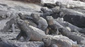 отопление : Galapagos Marine Iguana - Iguanas warming in the sun on volcanic rocks on Fernadina Island, Espinoza Point. Amazing wildlife animals on Galapagos Islands, Ecuador.