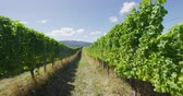 alkollü : Vineyard - grape vines for wine making of Red wine or Rose wine. Countryside farm fields showing viticulture.
