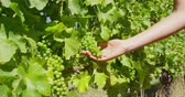 bağcılık : Vineyard wine grape harvest woman farming picking ripe grapes fruits for white wine. Closeup of hand holding bunch of green grapes on grapevine.