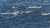 típico : Dolphin - Actually Porpoise group swimming and jumping breaching in Alaska. Dalls Porpoises of Alaska look like dolphines swims in big pods and typical willdlife you can see on Alaska cruise ship.