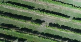 viticultura : Aerial drone video of Vineyard - grape vines field for wine. Top down view of Countryside farm fields showing viticulture.