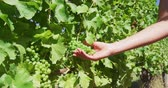 kalifornie : Woman touching fresh grapes growing on vines. Female is holding fruits during sunny day. She is at vineyard. SLOW MOTION shot on RED.