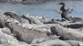 galapagos : Flightless Cormorant drying wings next to Marine Iguanas on Fernandina Island, Espinoza Point, Galapagos Islands. Amazing birds, nature and wildlife on Galapagos, Ecuador, South America.