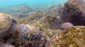 species : Galapagos green sea turtle swimming underwater at Floreana Island, Galapagos Islands. Snorkeling with green turtles and colorful fish at famous Post Office Bay, Galapagos, Ecuador, South America. Stock Footage