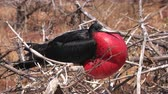 species : Frigatebird on Galapagos islands. Magnificent Frigate-bird on North Seymour Island, The Galapagos Islands. Male frigate bird with inflated red neck gular pouch (thoat sac) attracting females. Stock Footage