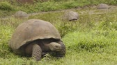 à beira da piscina : Galapagos Giant Tortoise walking on Santa Cruz Island in Galapagos Islands. Group of many Galapagos tortoises cool of in water hole. Animals, nature and wildlife video from Galapagos Islands highlands