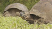 equador : Animals. Galapagos Giant Tortoise on Santa Cruz Island in Galapagos Islands. Animals, nature and wildlife video close up of tortoises in the highlands of Galapagos, Ecuador, South America.