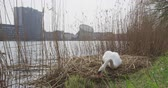 állat : Copenhagen Denmark - swan building nest in city center at lake.