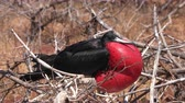 anzeige : Frigatebird on Galapagos islands. Magnificent Frigate-bird on North Seymour Island, The Galapagos Islands. Male frigate bird with inflated red neck gular pouch (thoat sac) attracting females. Stock Footage