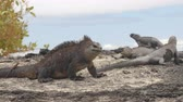 nativo : Galapagos Marine Iguana shaking and bobbing its head walking showing threat and dominance while lava lizard catches a ride on the tail. Male marine iguana on Isabela, Galapagos Islands, Ecuador.