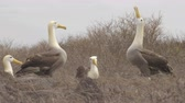 aves marinhas : Galapagos Albratross aka Waved albatrosses mating dance courtship ritual on Espanola Island, Galapagos Islands, Ecuador. The Waved Albatross is an critically endangered species endemic to Galapagos. Stock Footage